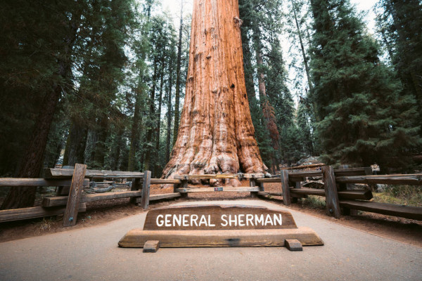 GIANT SEQUOIAS AND THE BLOSSOM TRAIL
